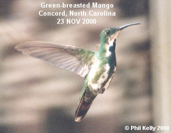 Green-breasted Mango Photo 1